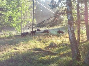 Sheep on Svartsö