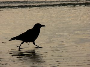 Encountering Crows: Living with wildlife in a changing world