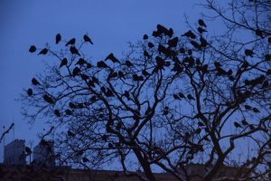Crows in the Innenhof