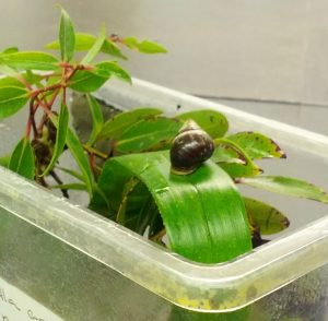The last snail: conservation and extinction in Hawai'i